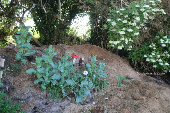 poppy-compost-heap
