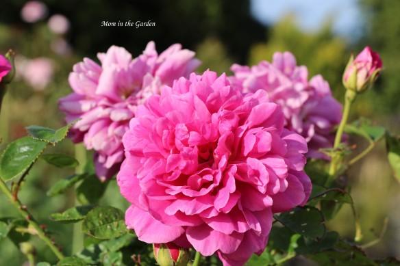 Princess Anne shrub rose flower fully open