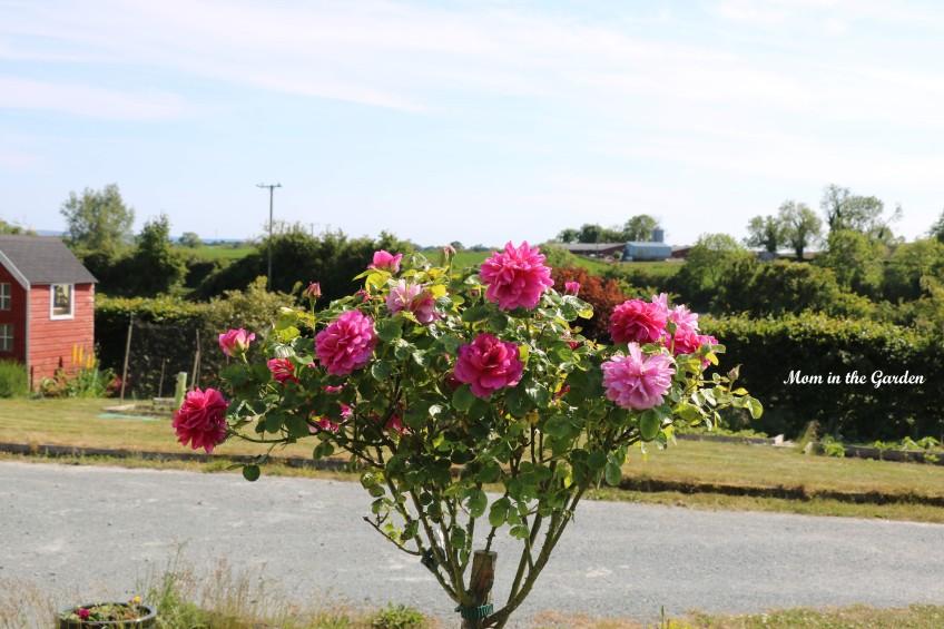 Princess Anne Standard Tree Rose June 1
