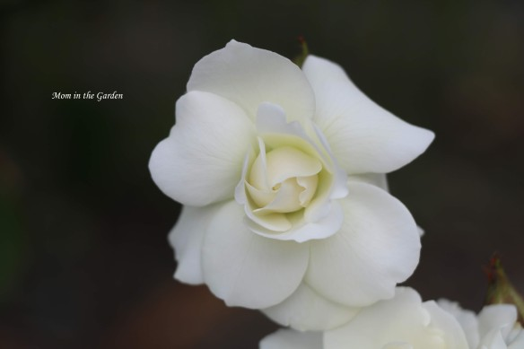 Princess Anne Tree rose WHITE offshoot single