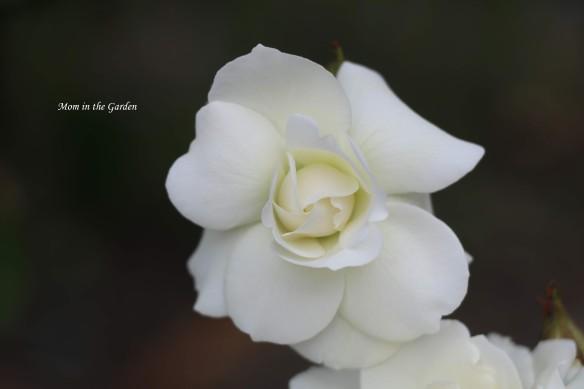 Princess Anne Tree rose WHITE offshoot single