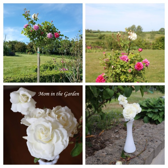 Princess Anne white roses COLLAGE