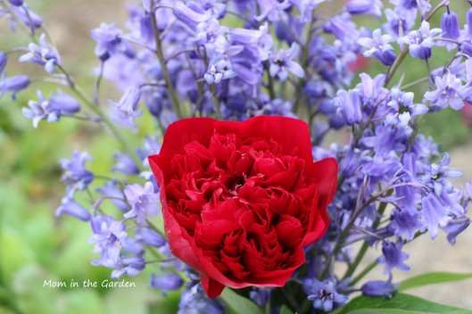 red peony and bluebells closeup