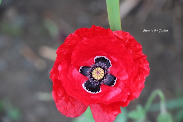 Red poppy black center