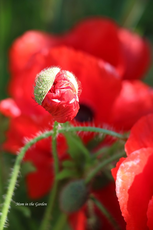 Red poppy opening from bud