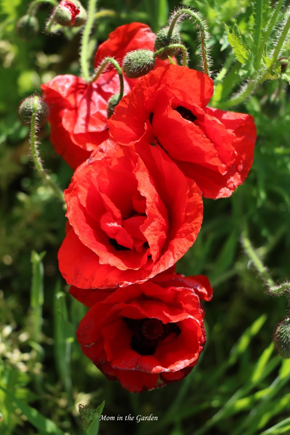 Red poppies forming a  tower