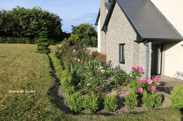Rose bed box hedge
