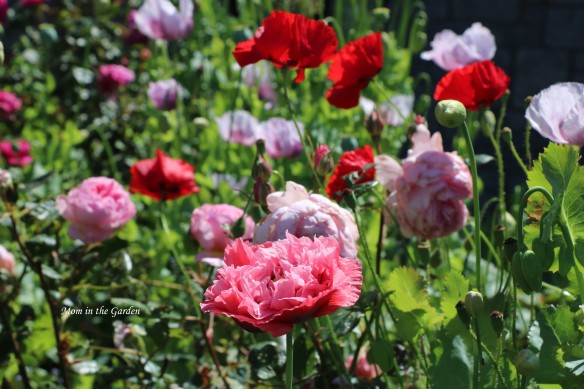 Roses and Poppies in sunlight