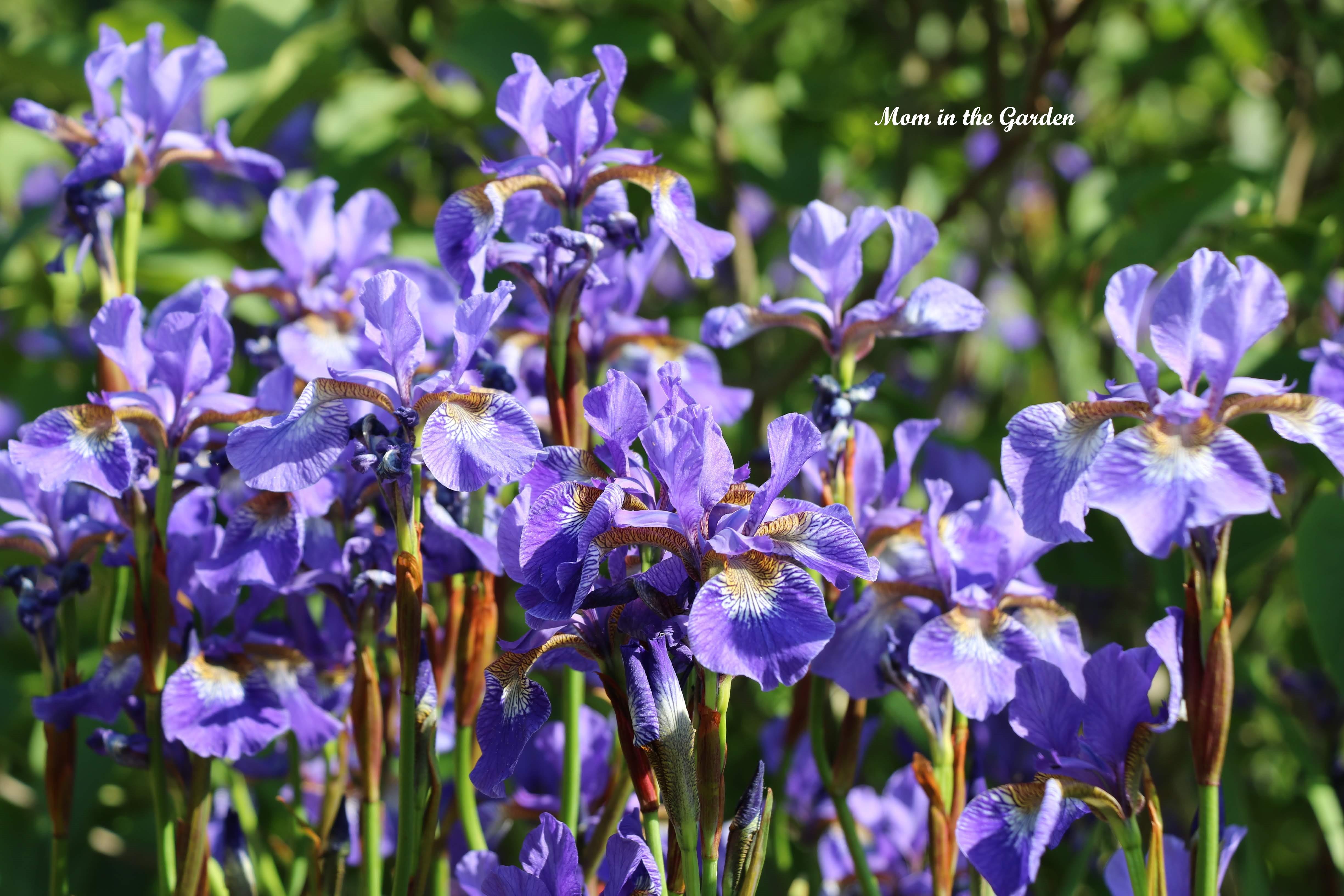 Siberian Iris group