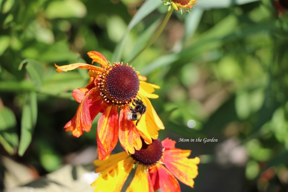 Helenium and bee