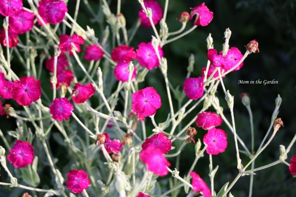 lychnis Coronaria rose campion