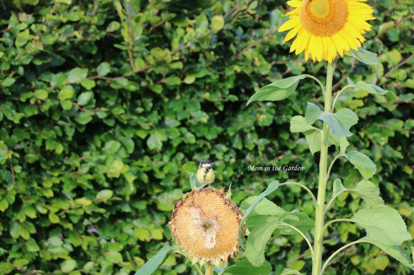 Blue tit sitting on sunflower