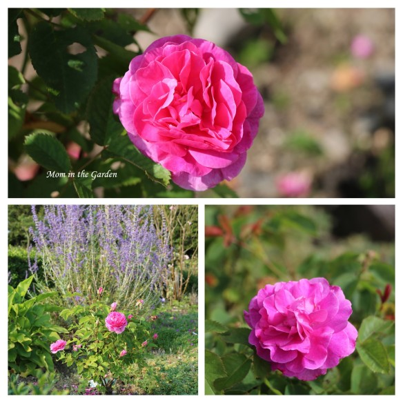 Englands Rose collage