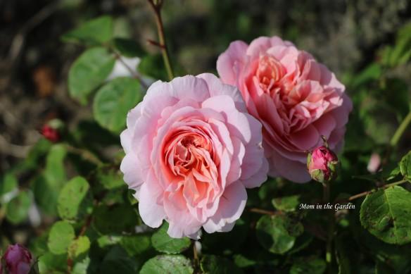 Eustacia Vye David Austin Rose cluster
