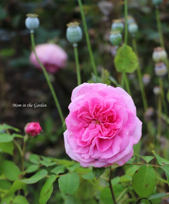 Gertrude Jekyll rose with poppy pods