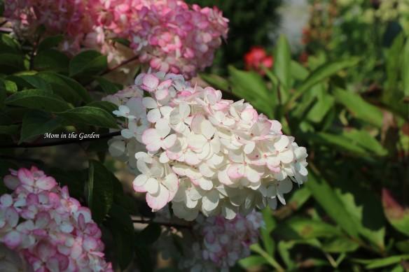 hydrangea vanille fraise paniculata renhy white closeup