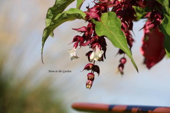 Leycesteria formosa flower closeup