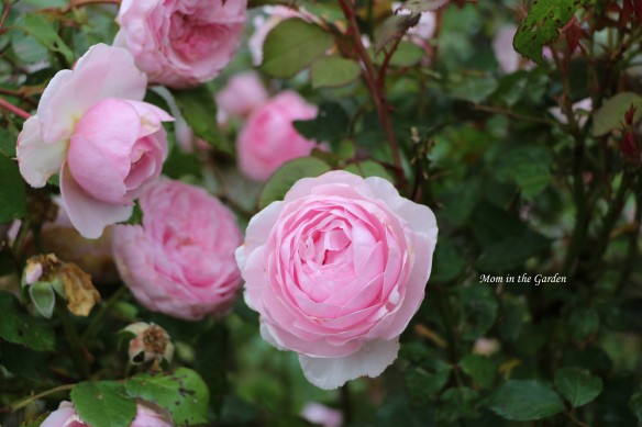 LIght pink david austin roses group