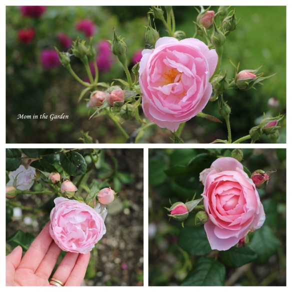 Scepter d Isle David Austin Rose collage