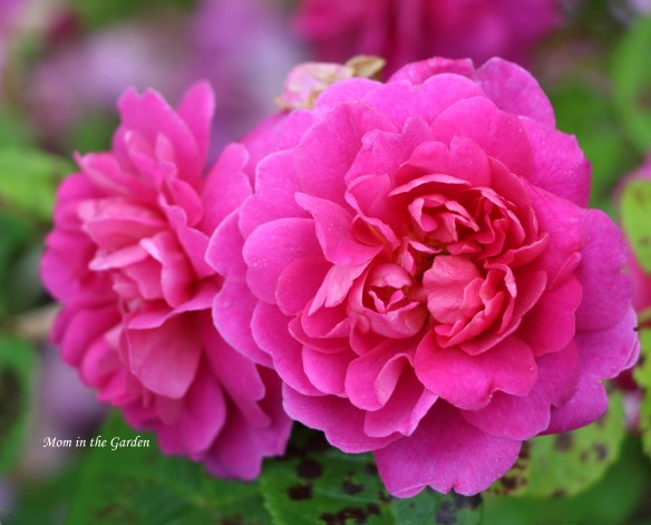 two Princess Anne David Austin Roses