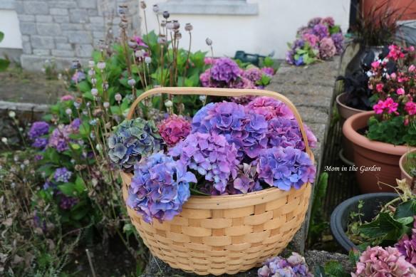 basket of hydrangea full garden view