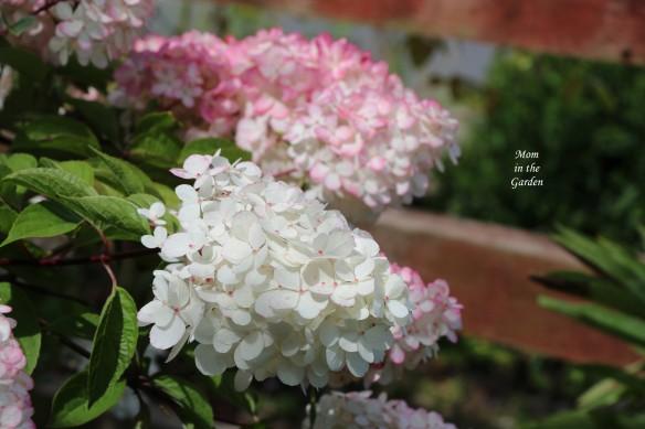 Hydrangea Vanille Fraise Paniculata Renhy close up