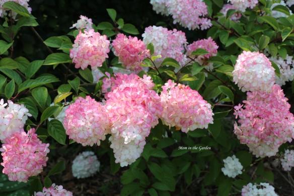 Hydrangea Vanille Fraise Paniculata Renhy full plant pink in sun
