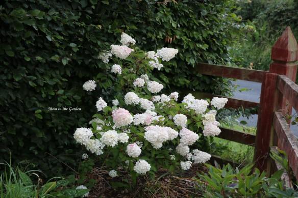 Hydrangea Vanille Fraise Paniculata Renhy full plant white