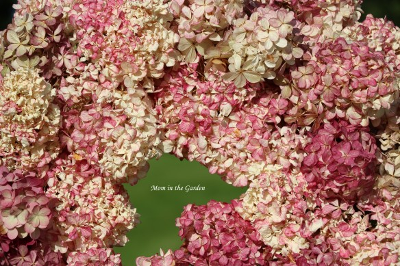 Hydrangea Vanille Fraise Paniculata Renhy wreath outside Center