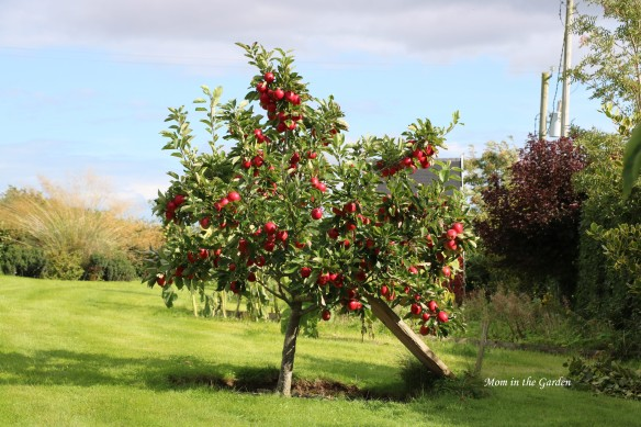 Red eating apple tree August 2020