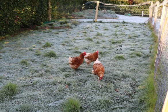 three chickens in frost September