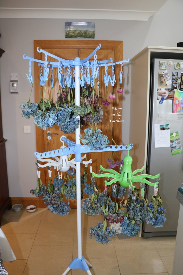 Blue hydrangeas on drying racks