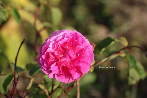 Englands Rose October