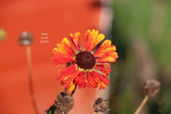 helenium in October