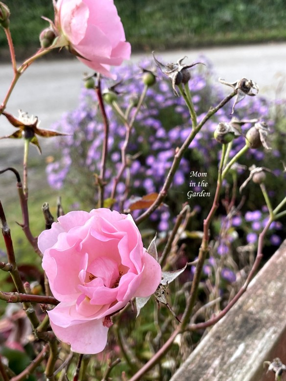 Pink roses at gate with asters
