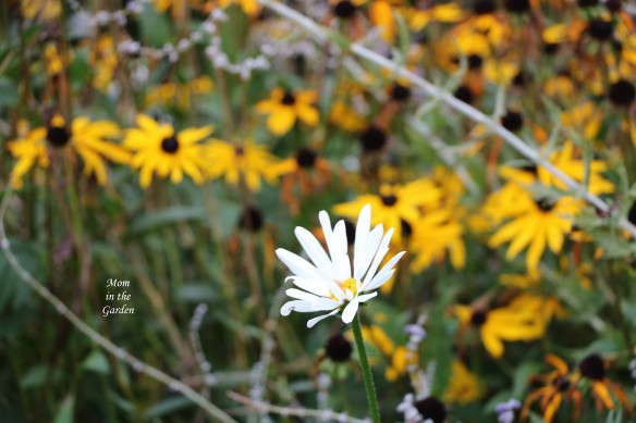 single daisy in Oct