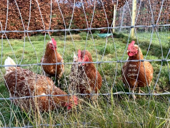 4 chickens November