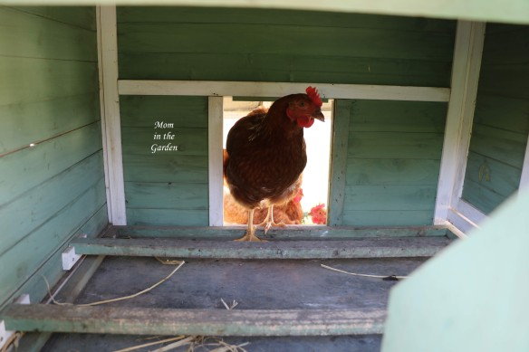 chicken in the house