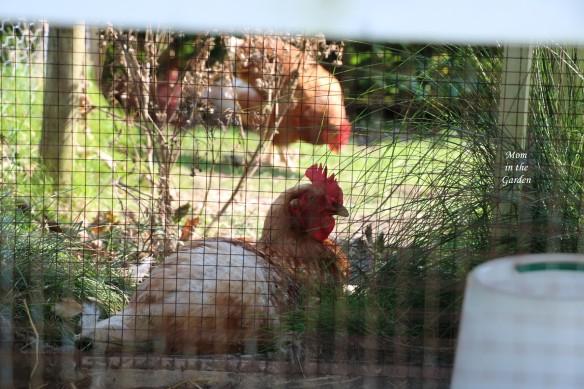 chicken under house