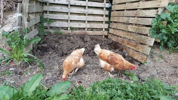 chickens at the compost