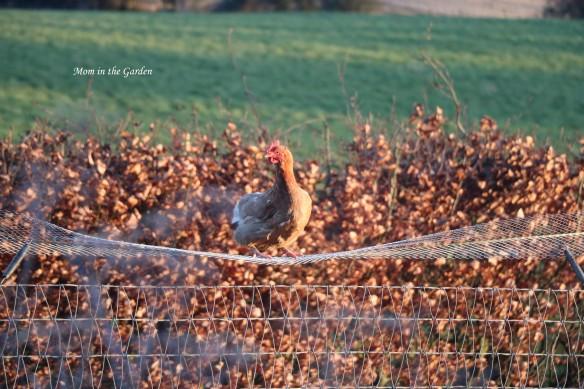 Daisy on the fence