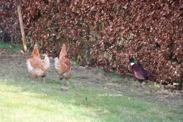 hens and pheasant