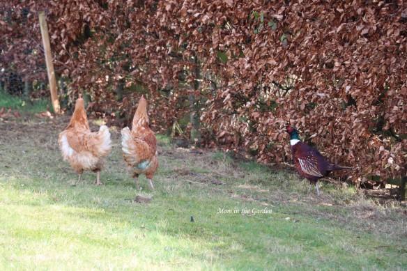 hens and pheasant