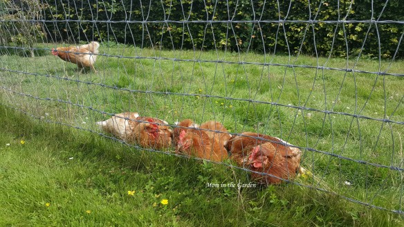 sleeping chickens