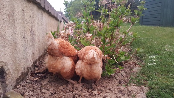 two chicken bums