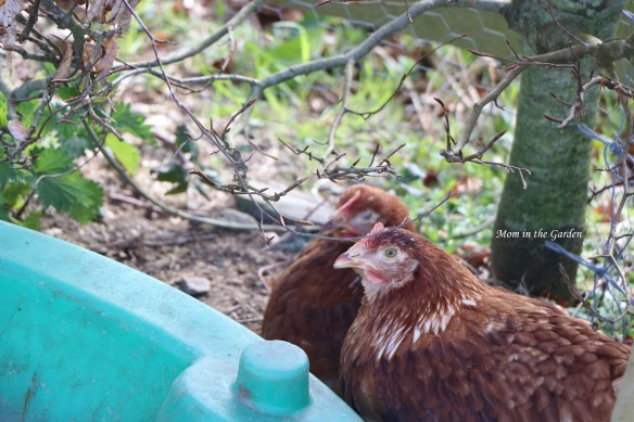 two young hens