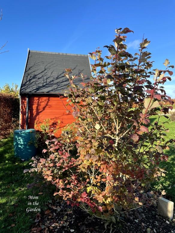 Viburnum opulus Roseum November