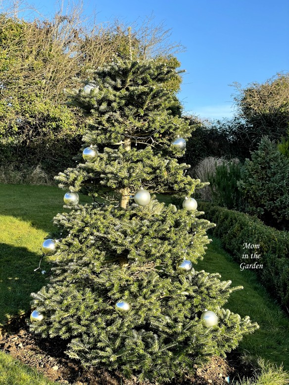 Abies Koreana with Christmas balls