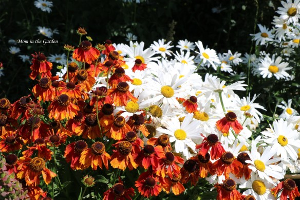 Helenium and daisies