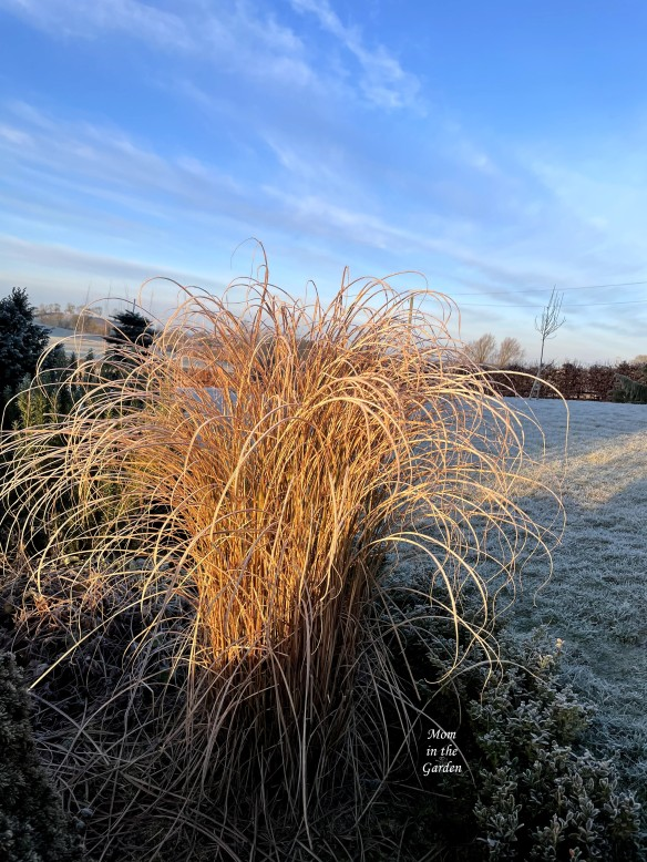 ornamental grass frosty morning blue sky